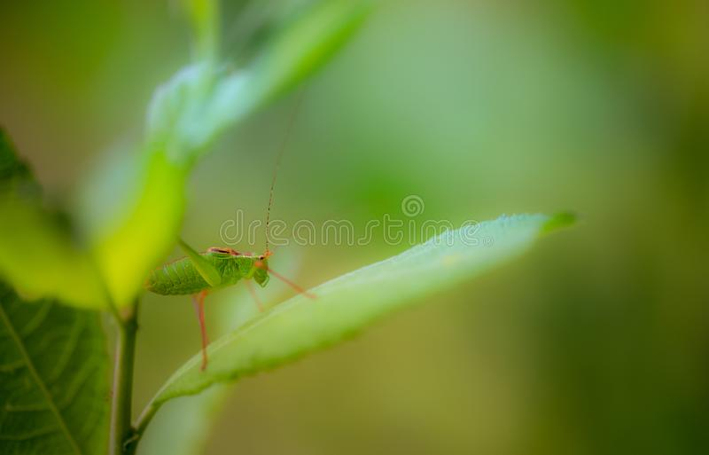 在桃红色和绿色黄色背景的单独昆虫大绿色蚂蚱特写镜头侧视图与攀登叶子的柔光 库存图片