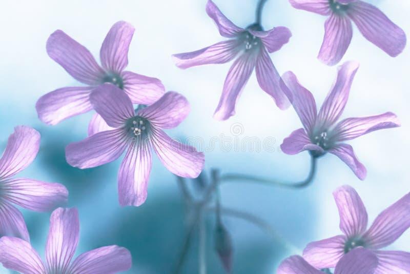 在桃红色和蓝色的抽象花卉背景 库存图片