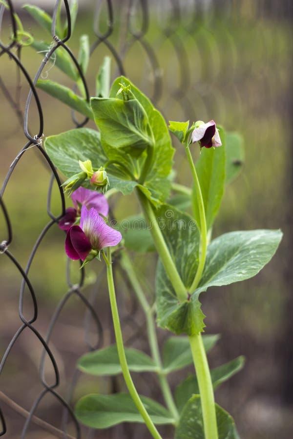 在桃红色在庭院里,篱芭的豆植物的豌豆绽放 库存图片