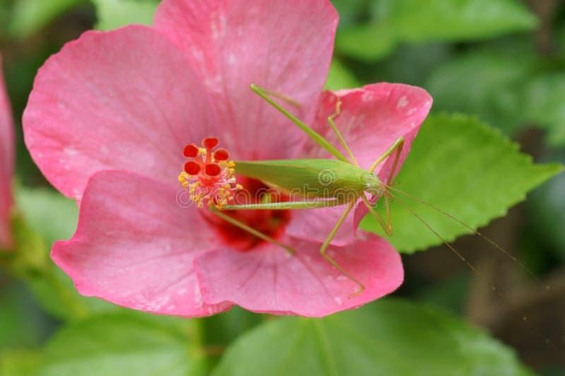 在桃红色木槿的蚂蚱 库存照片