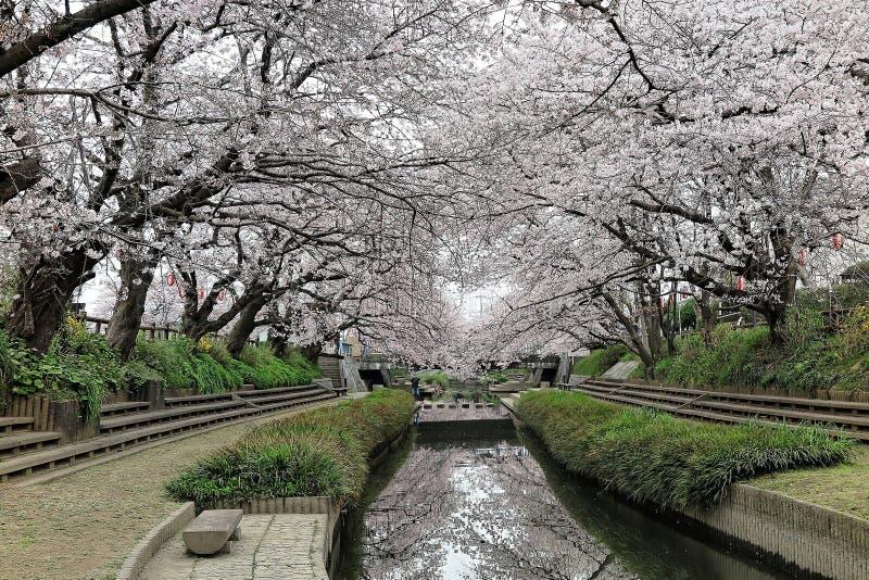 在桃红色樱桃树下拱道的浪漫走道开花沿一个小河岸的佐仓Namiki 免版税库存图片