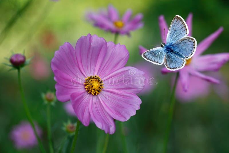 在桃红色波斯菊中的蓝色蝴蝶飞行开花 免版税库存图片