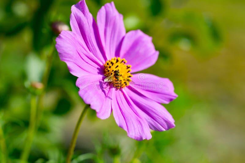 在桃红色波斯菊花波斯菊Bipinnatus里面的黄蜂 关闭 Na 库存图片