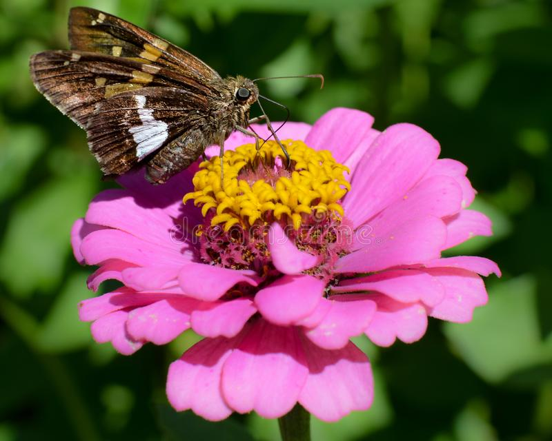 在桃红色百日菊属花的飞蛾 免版税库存图片