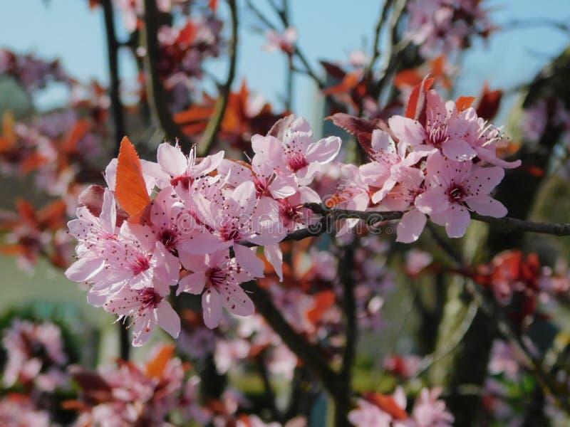 在桃红色的樱花 免版税库存照片