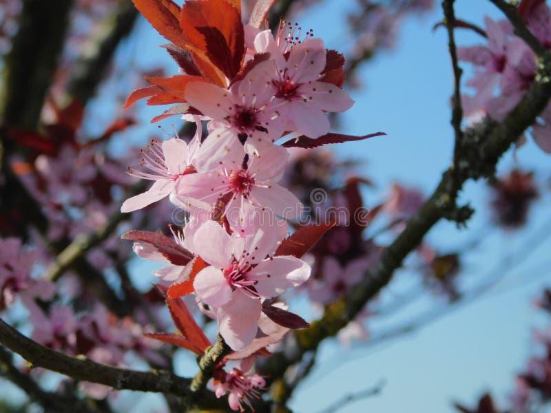 在桃红色的樱花 免版税图库摄影
