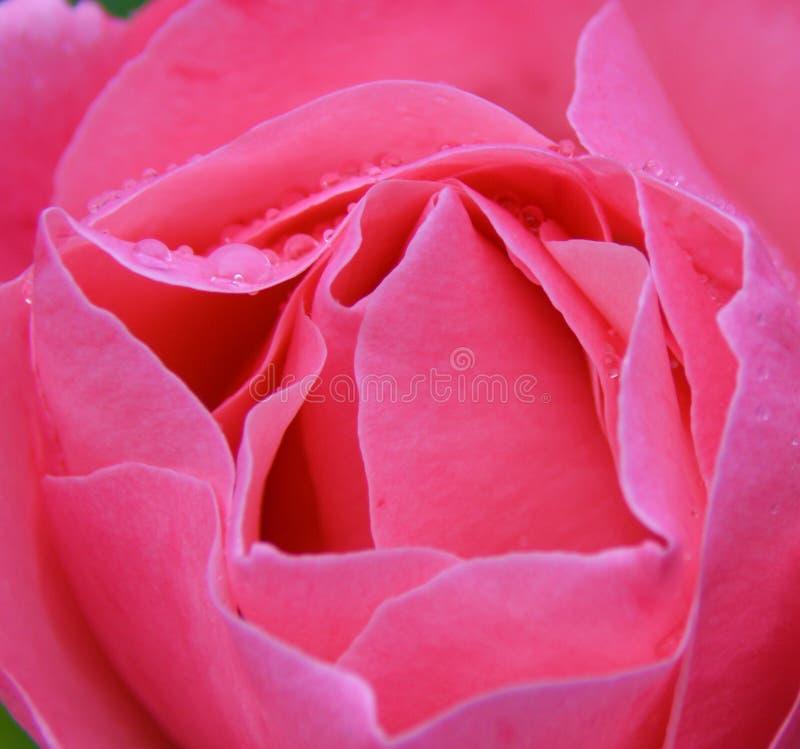 在桃红色的瓣 免版税库存照片