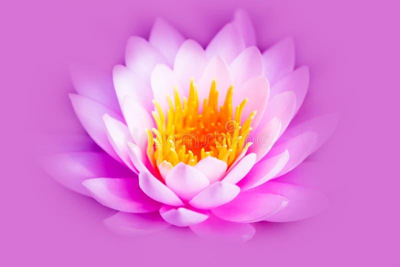 在桃红色紫色背景与黄色核心隔绝的白色和强烈的明亮的桃红色莲花或荷花 免版税库存照片