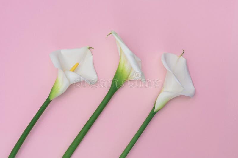 在桃红色背景的三朵白色lilly水芋属花 免版税库存图片