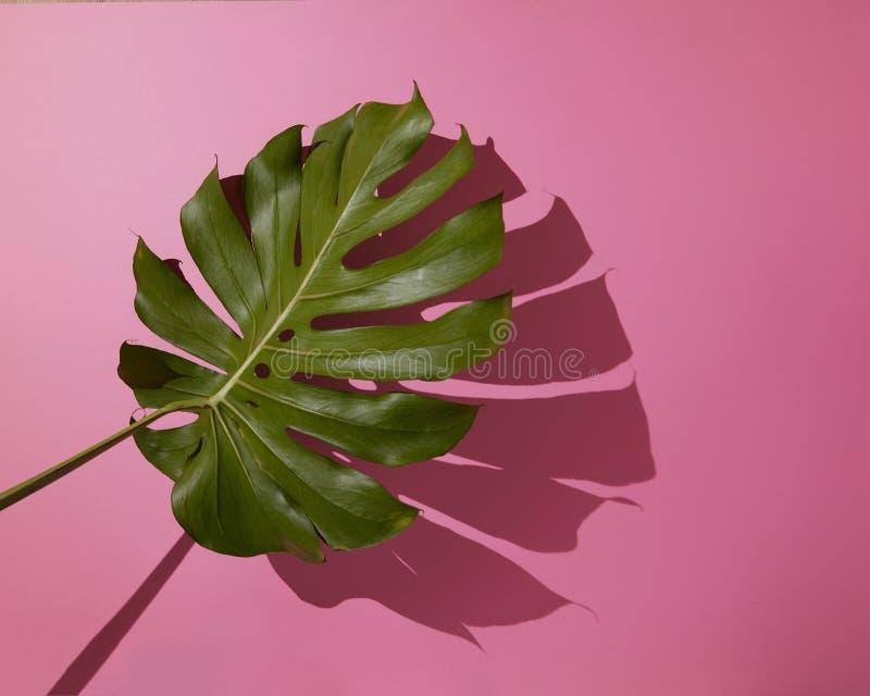 在桃红色背景的叶子Monstera 库存照片