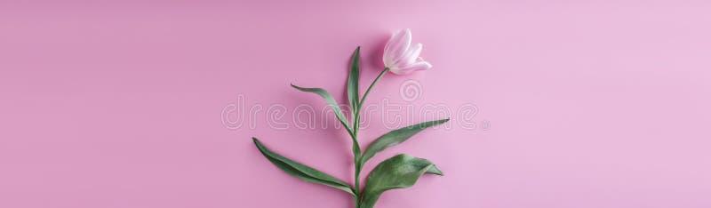 在桃红色背景的桃红色郁金香花 等待的春天 库存图片
