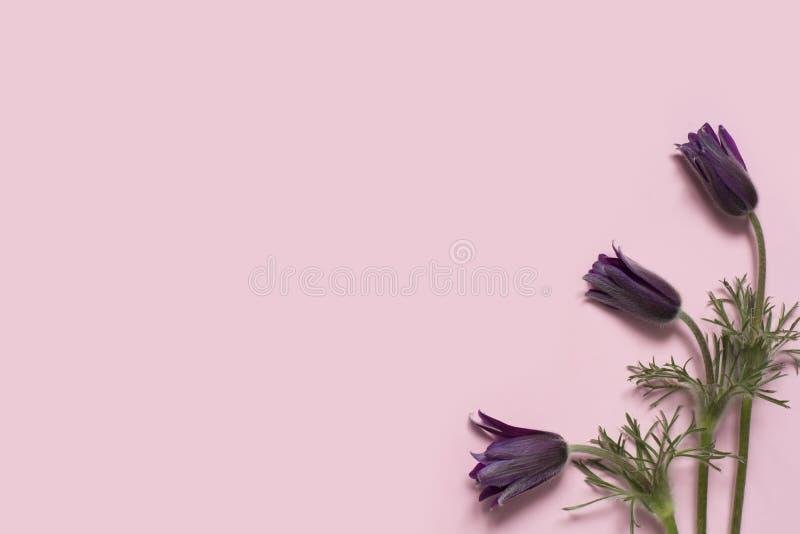 在桃红色背景的美丽的春天花白头翁属白头翁 库存照片