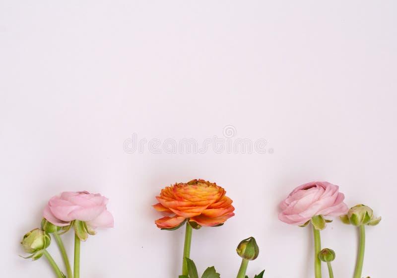 在桃红色背景的美丽的毛茛属花 r   库存照片