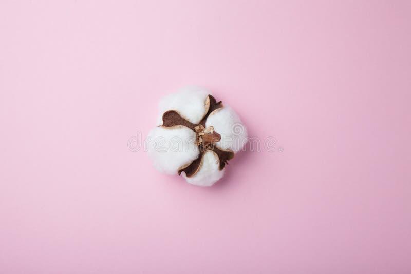 在桃红色背景的自然棉花花 免版税库存图片