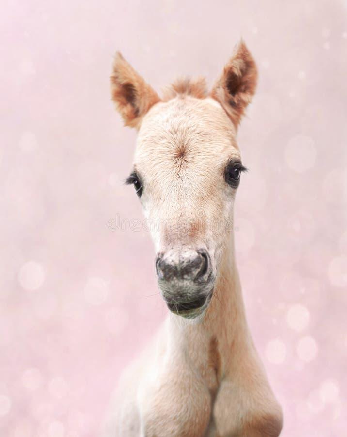 在桃红色背景的逗人喜爱的新出生的驹 免版税库存图片