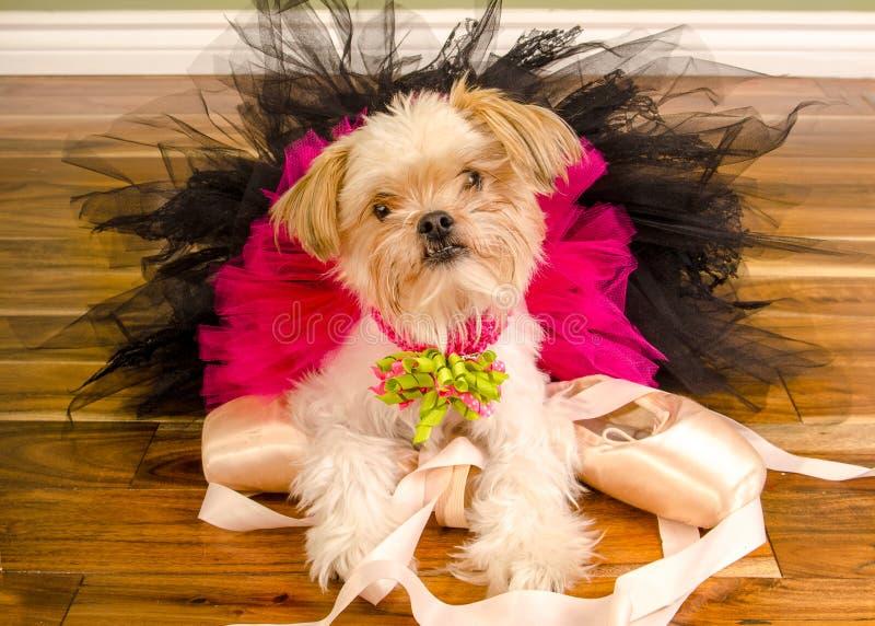在桃红色芭蕾舞短裙和Pointe鞋子的芭蕾舞女演员狗 免版税库存照片