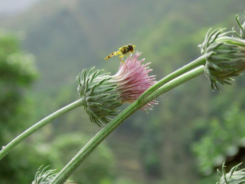 在桃红色花的昆虫 免版税库存图片
