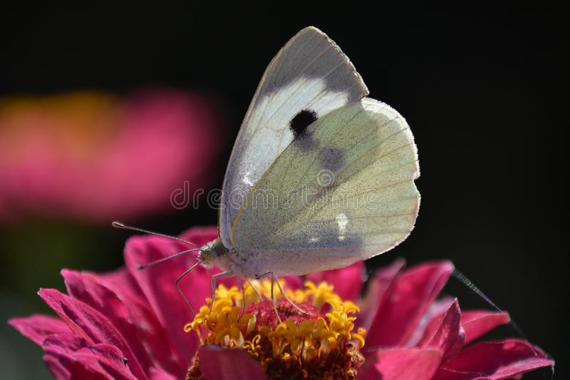 在桃红色花的美丽的白色蝴蝶 免版税图库摄影