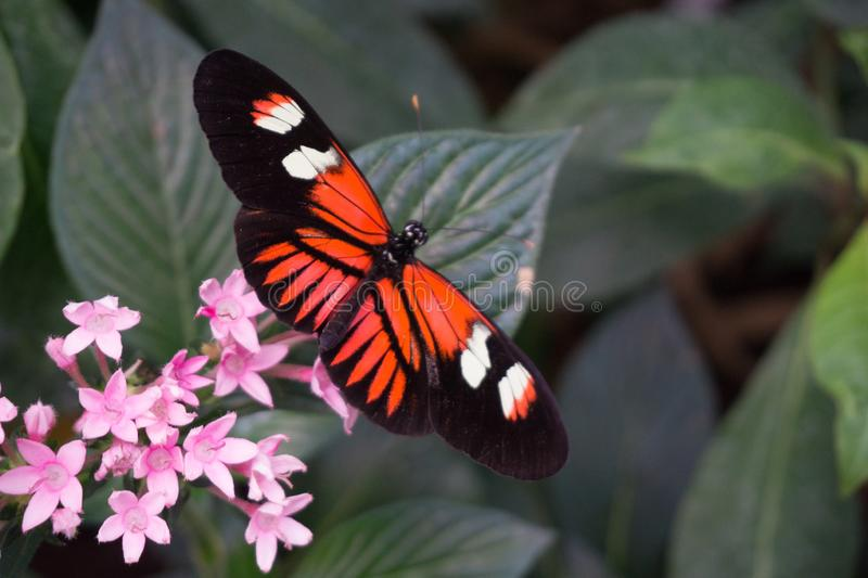在桃红色花的老虎蝴蝶 免版税库存照片