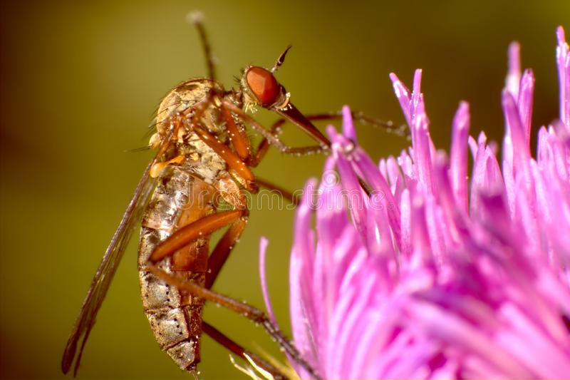 在桃红色花的蚊子 免版税库存图片