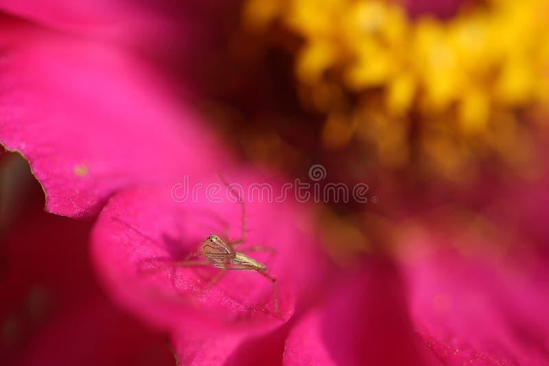 在桃红色花的蜘蛛 免版税库存图片