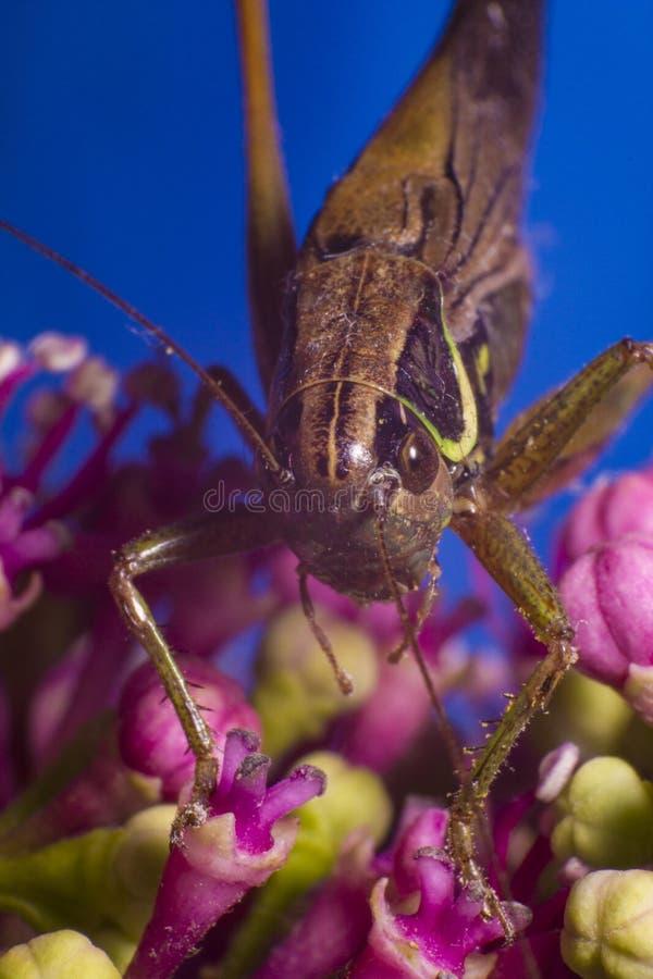 在桃红色花的蟋蟀 免版税库存图片