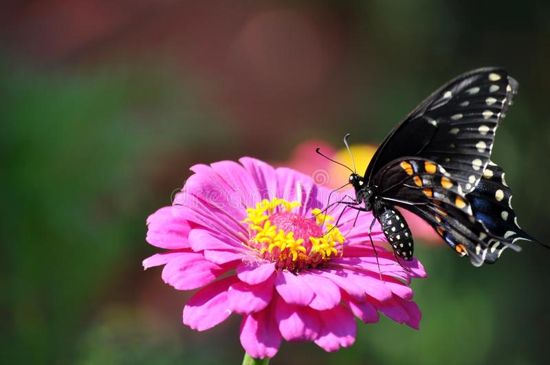 在桃红色花的黑swallowtail蝴蝶 库存照片