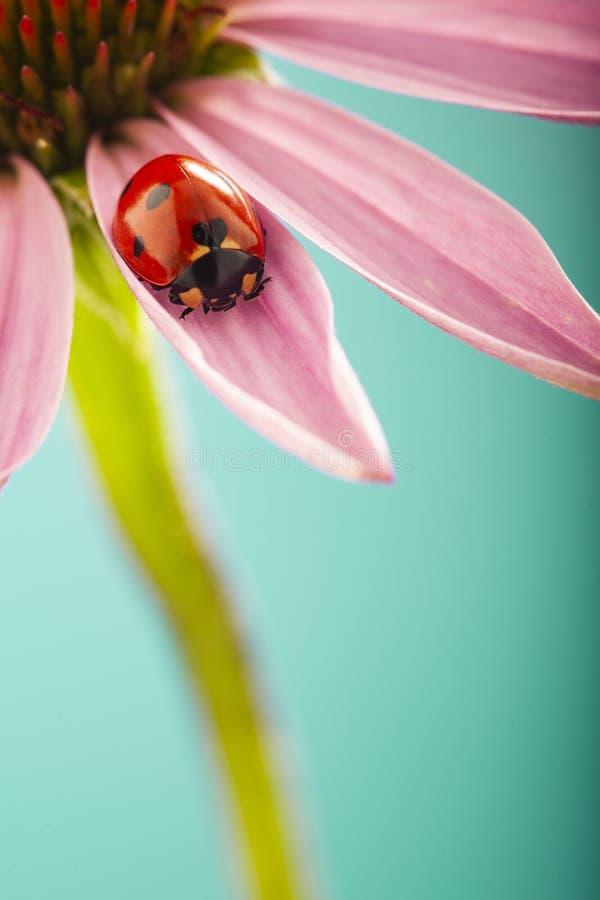 在桃红色花,瓢虫的红色瓢虫在植物叶子在春天爬行在庭院里在夏天 库存照片