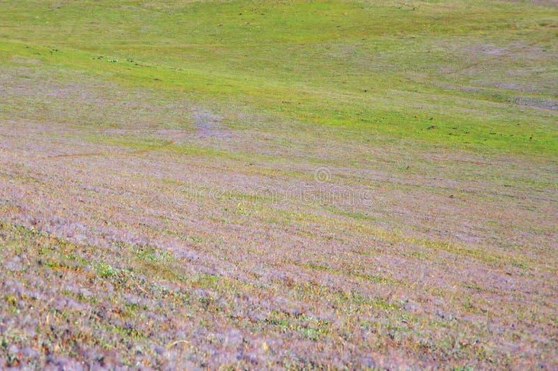 在桃红色草甸的美好的阳光有在草和新自然的露水的在日出第6部分 免版税库存图片