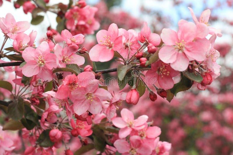 在桃红色颜色的春天进展的苹果树分支 免版税库存图片