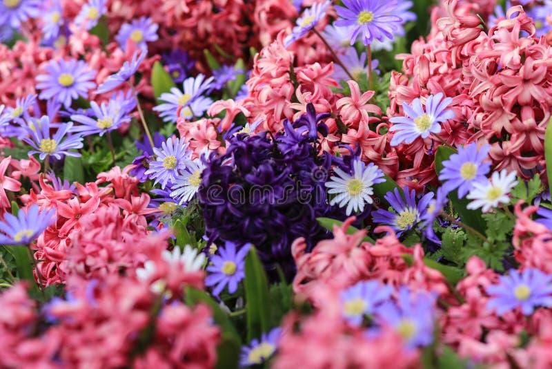 在桃红色风信花的领域的紫色风信花 免版税图库摄影