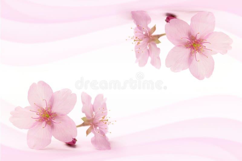在桃红色风摘要的日本樱花 免版税库存图片