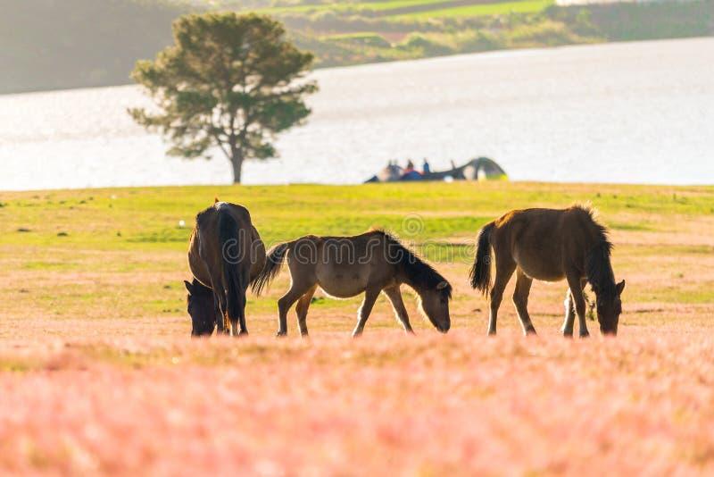 在桃红色玻璃fiield-大叻,越南的野马 免版税库存照片