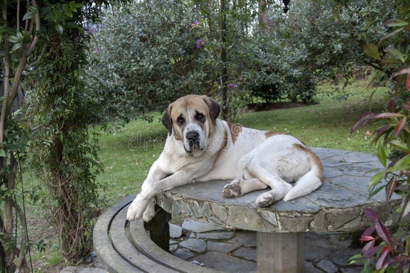 在桌上的大型猛犬 库存图片