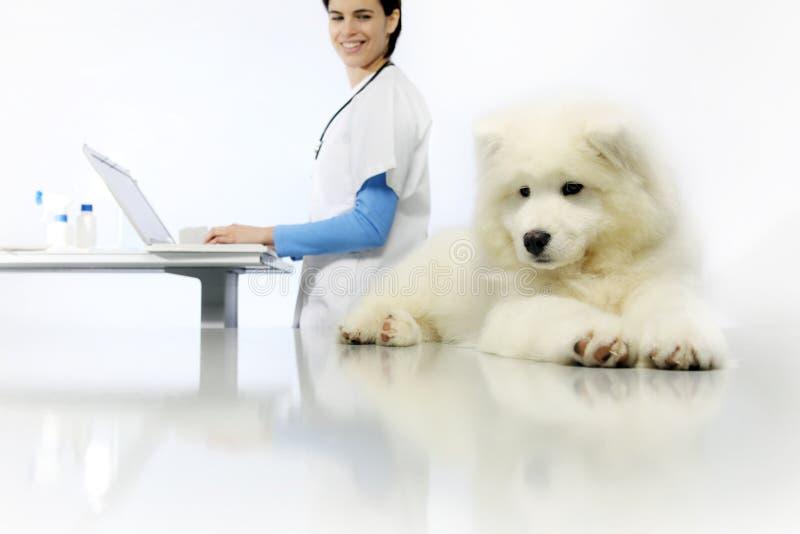 在桌上的微笑的兽医审查的狗与在狩医的计算机 库存照片