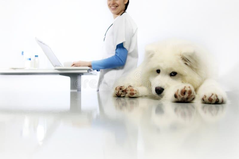 在桌上的微笑的兽医审查的狗与在狩医的计算机 库存图片