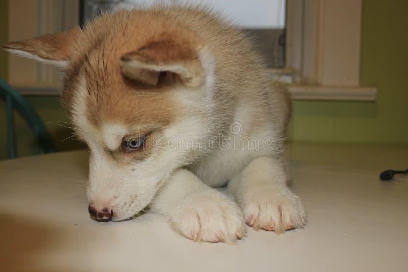 8在桌上的星期的西伯利亚爱斯基摩人小狗 免版税库存图片