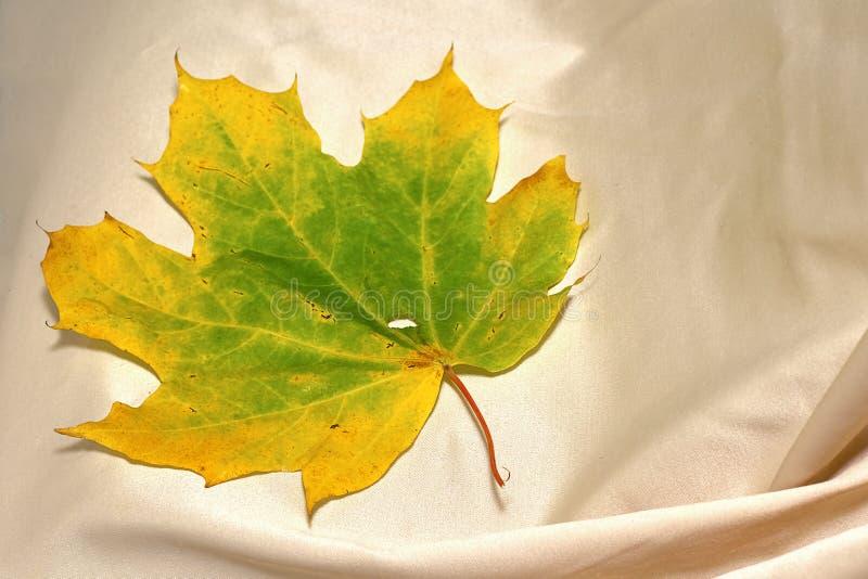 在桌布clos的背景的黄绿枫叶 库存照片