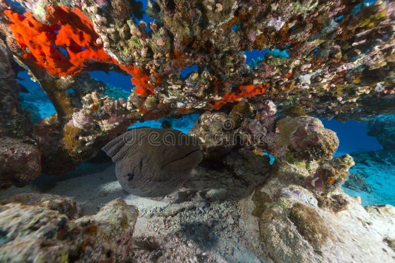 在桌珊瑚下的巨型海鳗在红海。 免版税库存图片
