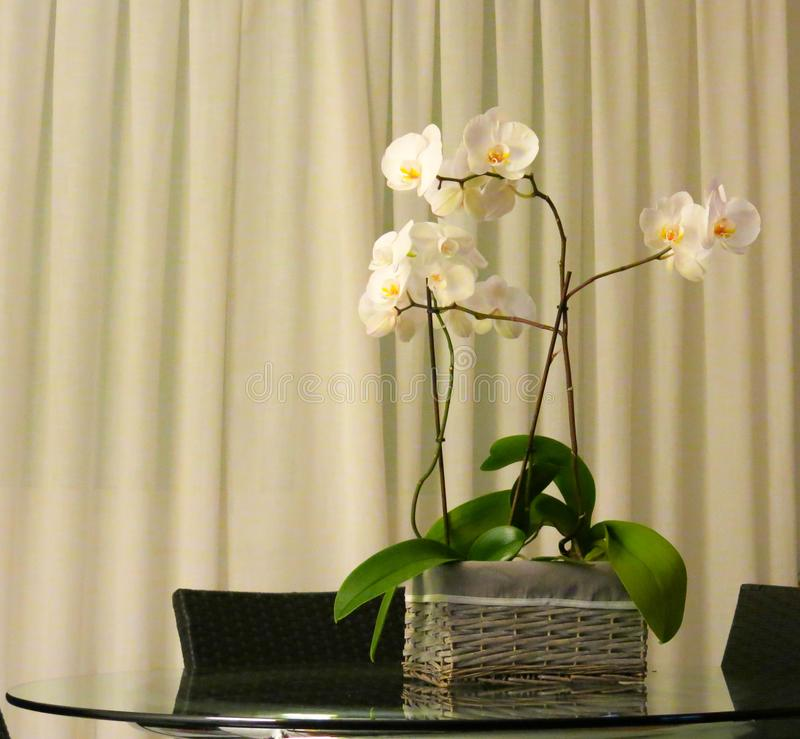 在桌的白色兰花 免版税图库摄影