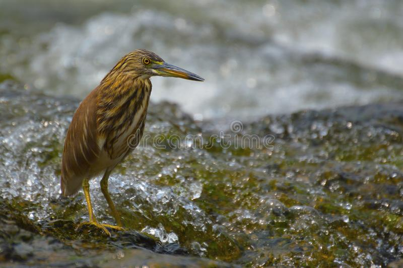 在桑格利附近的印地安池塘苍鹭,马哈拉施特拉 免版税库存图片