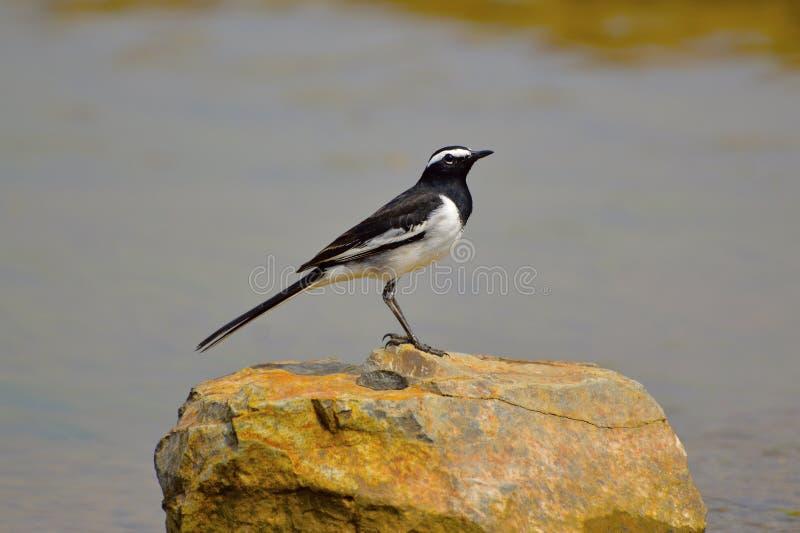 在桑格利附近的白色Browed令科之鸟,马哈拉施特拉 免版税库存照片