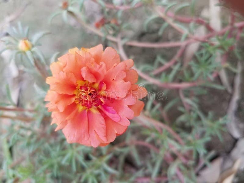 在桔子的一朵花 免版税库存照片