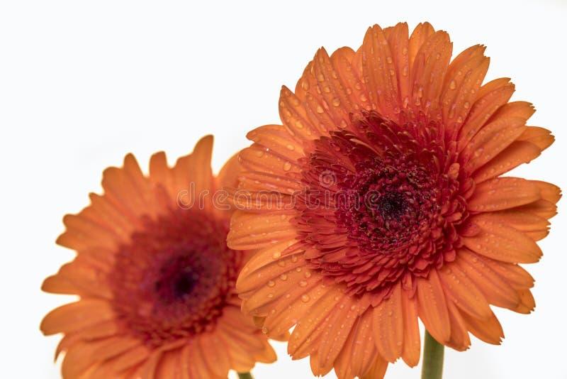 在桔子的两朵美丽的格伯花 免版税库存照片