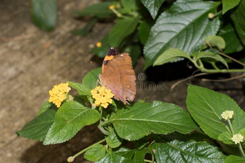 在桔子的侧视图蹒跚而行坐有闭合的翼的黄色开花在emsbà ¼的一间温室ren emsland德国 免版税库存图片