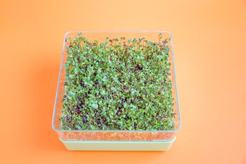 在桔子的新发芽的microgreens 免版税图库摄影