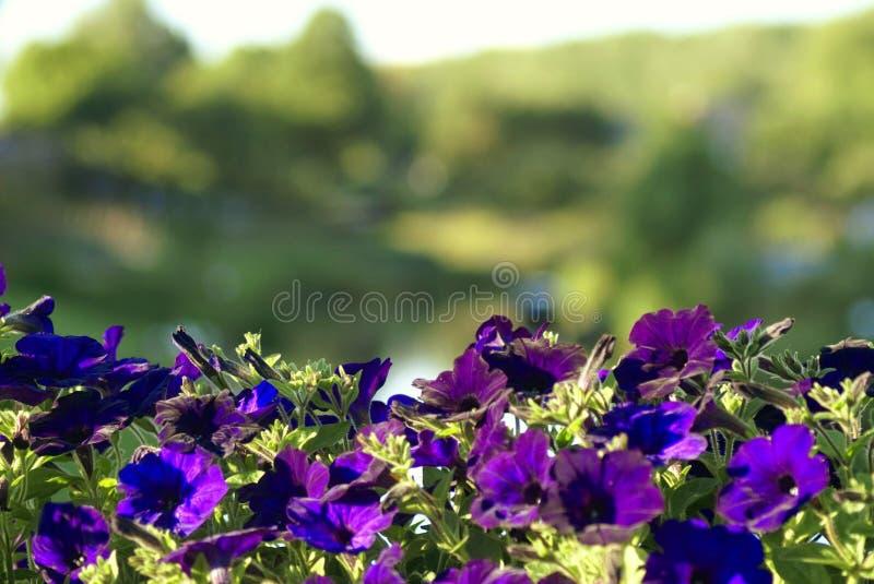 在桥梁栏杆的紫色花 免版税库存照片