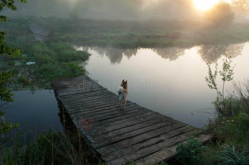 在桥梁,在一条河在黎明,在水的薄雾的老被毁坏的桥梁的狗, 免版税库存照片