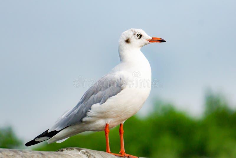 在桥梁,顶视图剪影的海鸥身分 鸟飞越海,在深蓝色海,寻找在鱼下的鸥的海鸥翱翔 免版税库存图片