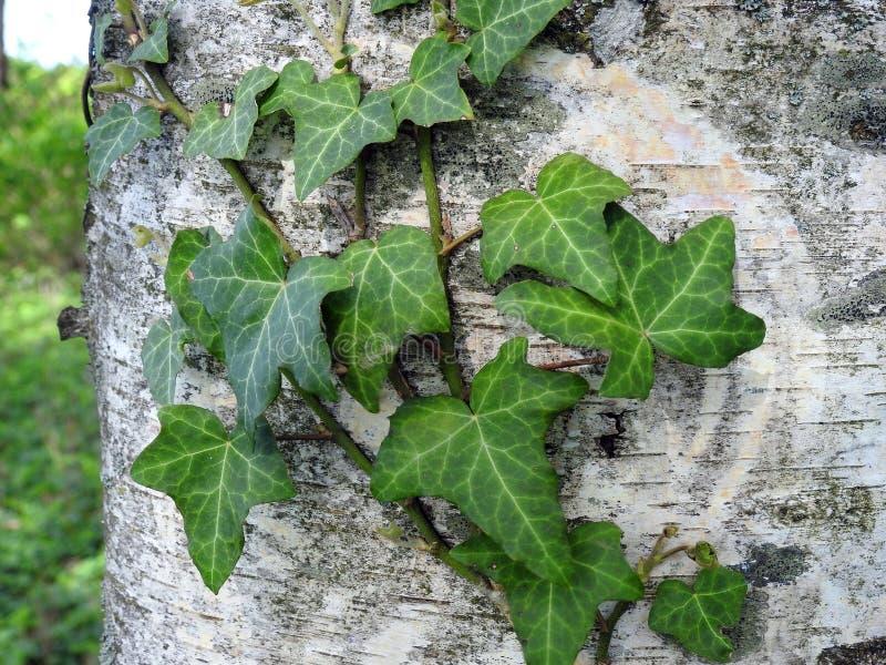在桦树树干,立陶宛的绿色爬行物 库存照片